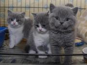 Котята породы x5 полный британская короткошерстная