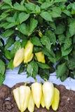 Семена овощей от производителя