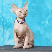 Продам котят канадского сфинкса