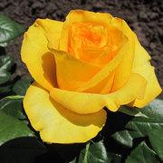 Саженцы роз опт и розница