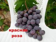 виноград, : саженцы  в херсонской области