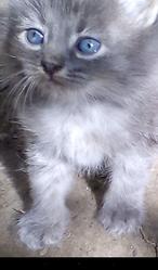 Котята пушистые бесплатно