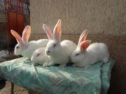 Продам племенных кроликов Бельгийский Великан