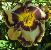 Многолетники садовые - гибискусы и лилейники,  семена,  корни