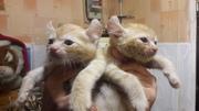 Продам котята Американский Кёрл