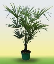 Пальма веерная Трахикарпус форчуна